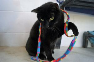 Ada is a pretty black cat who needs some stability in her life on arrival she was a bolter and