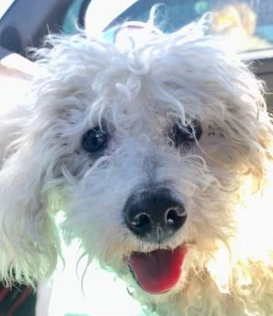 Pearl is a total angel Estimated at about 15 years oldPearlis a sweet senior whos blind deaf