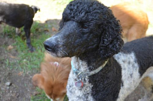 Dog For Adoption Divo A Standard Poodle In West Vancouver