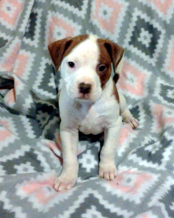 Dog For Adoption Oliver A Boxer Mix In Andover Ma Petfinder