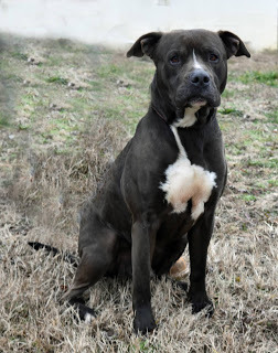 Bear, an adopted Mastiff in Marion, KY