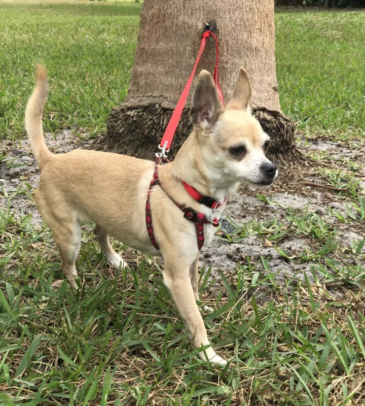Lychee, an adopted Chihuahua in Davie, FL