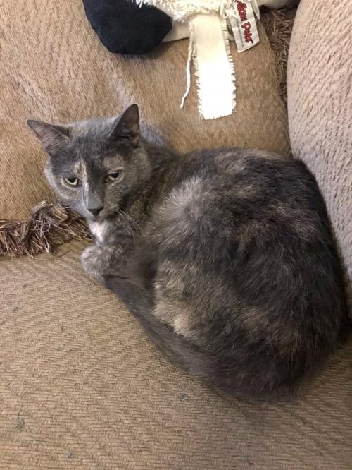 Safiya, an adopted Domestic Short Hair in Philadelphia, PA