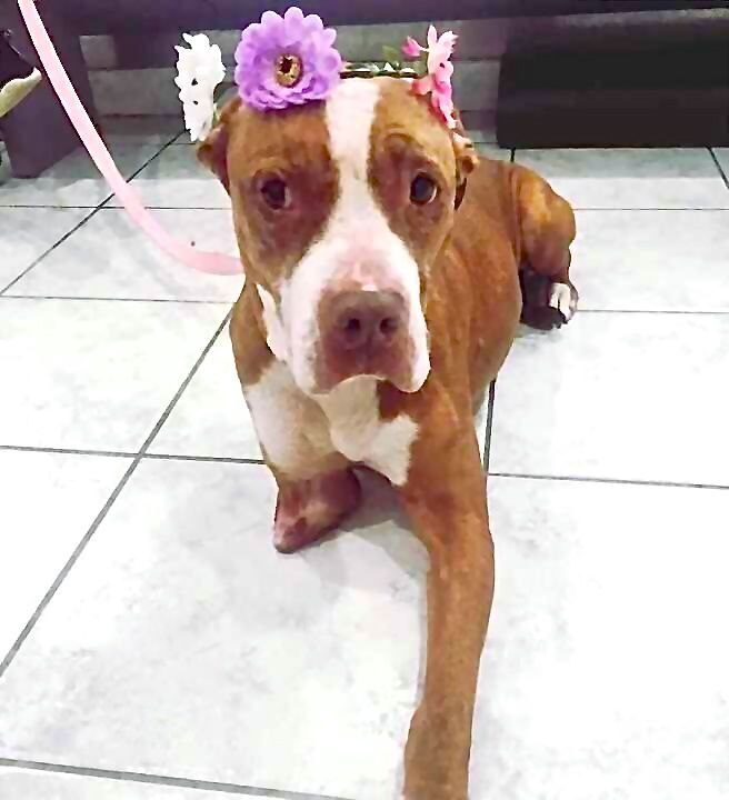 Peggy, an adoptable Pit Bull Terrier Mix in Staten Island, NY