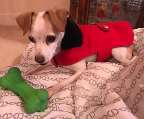 Cora, an adopted Jack Russell Terrier in Toronto, ON
