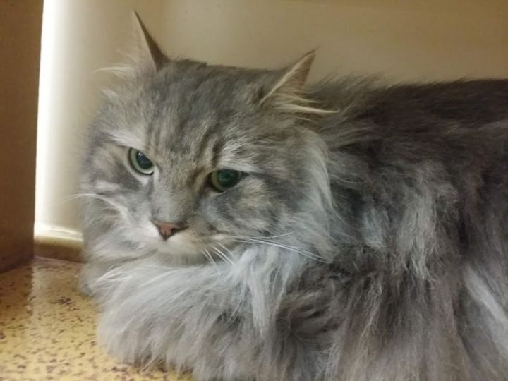 Ammco bus : Silver maine coon kittens for sale in pa