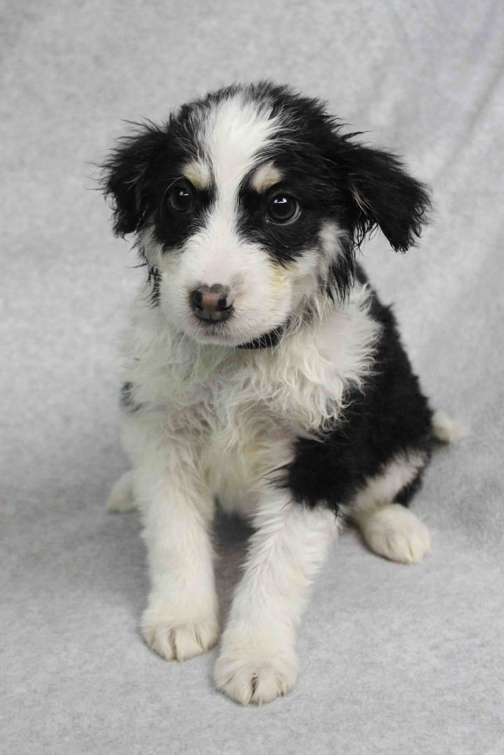 Buffy, an adopted Retriever & Border Collie Mix in Arvada, CO