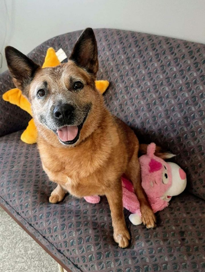 Hilde, an adoptable Australian Cattle Dog / Blue Heeler in Canandaigua, NY