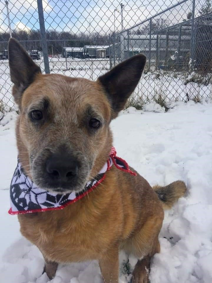 Hilde, an adopted Australian Cattle Dog / Blue Heeler in Canandaigua, NY