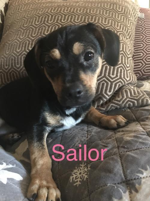 Sailor, an adopted Chihuahua & Dachshund Mix in Glenwood, GA