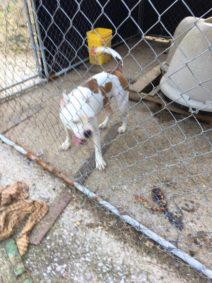Rowdy, an adopted American Bulldog in Inez, KY