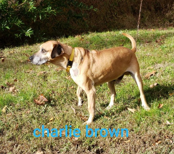 Charlie Brown, an adopted Mountain Cur in Inez, KY