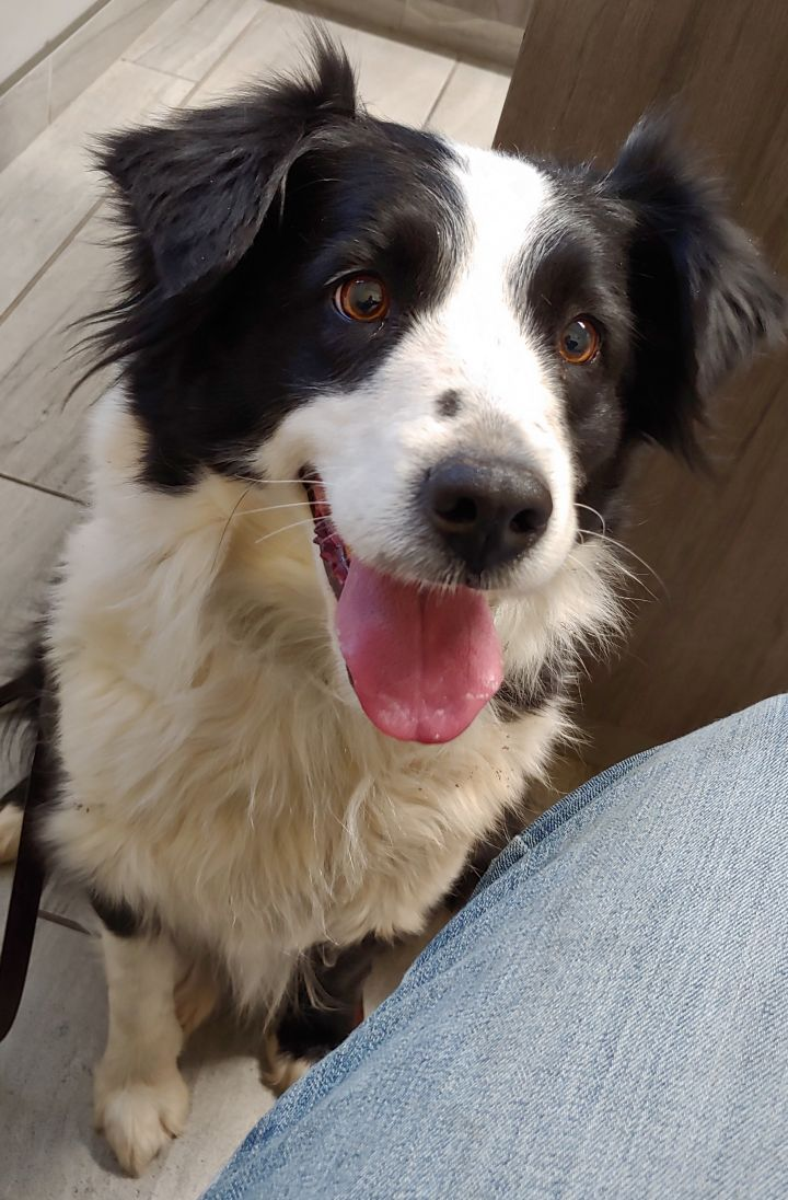 Dog for adoption - Izzy, an Australian Shepherd in Wichita
