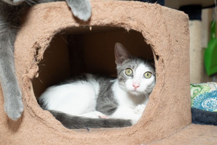 Romeo, an adoptable Domestic Short Hair in Chicago, IL