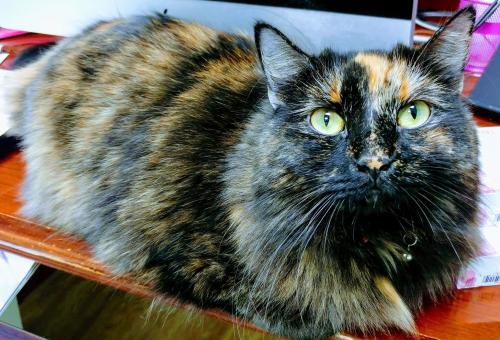 Michonne, an adoptable Tortoiseshell in Fort Lauderdale, FL