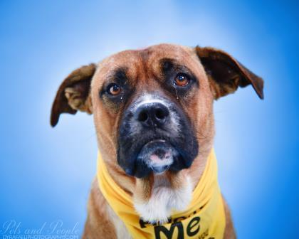 Dog for adoption - Rocky, a Boxer Mix in North Miami Beach, FL
