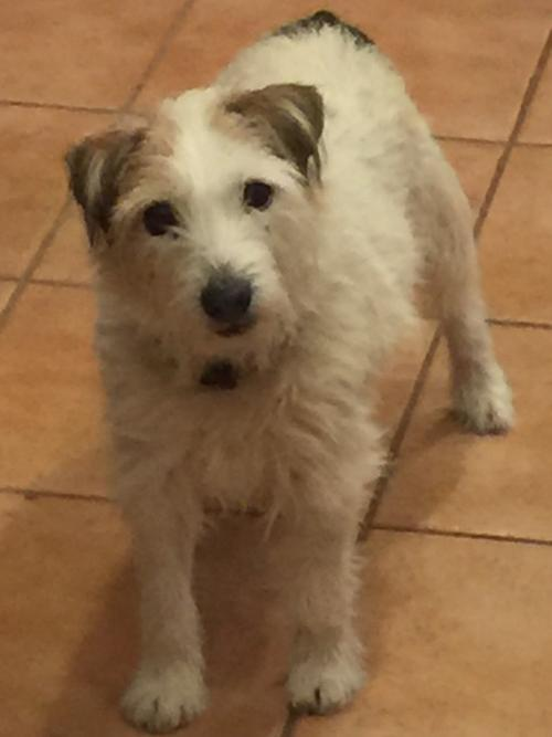Lola (in Buena Park), an adopted Jack Russell Terrier in Lompoc, CA