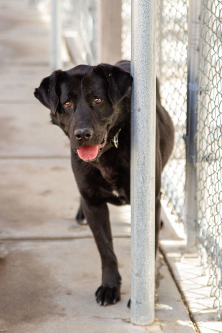 Bandit, an adopted Labrador Retriever Mix in Hays, KS