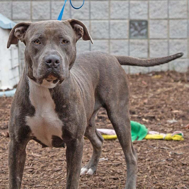 Vixen, an adopted Pit Bull Terrier Mix in Eagle, ID