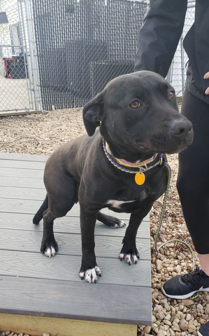 Panda, an adoptable Labrador Retriever & Pit Bull Terrier Mix in Queenstown, MD