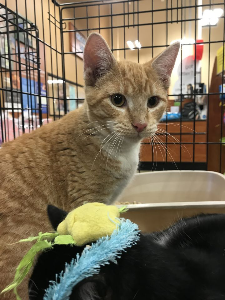 Sai, an adoptable Domestic Short Hair in Oakland Park, FL