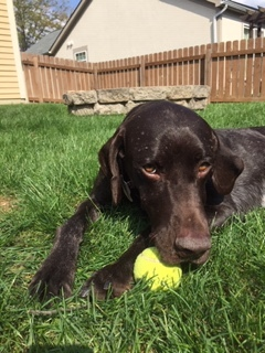 Dog For Adoption Hardin A German Shorthaired Pointer In Columbus