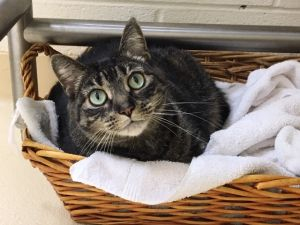 Maggie is a very pretty gray tabby girl who is about 5-6 years old She is very friendly and playful