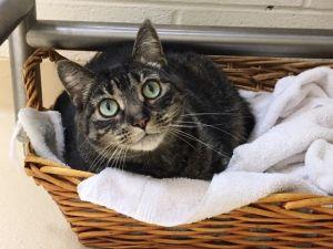 Maggie Tabby Cat