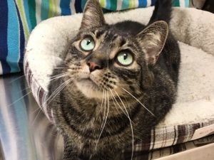 Maggie is a very pretty gray tabby girl with beautiful bluegreen eyes She is a