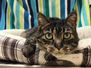 Maggie is a very pretty gray tabby girl with beautiful bluegreen eyes She is even prettier in pers