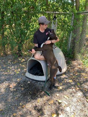 Mocha Labrador Retriever Dog