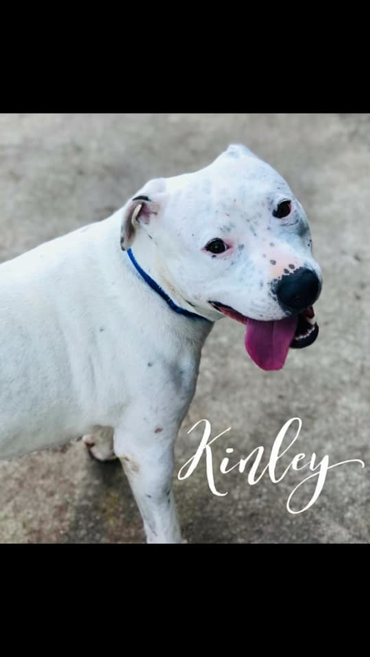 Kinley, an adopted Pit Bull Terrier in Cypress, TX