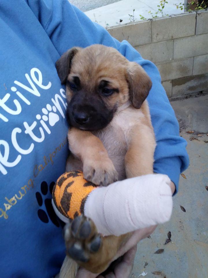Dog For Adoption Peanut A Shepherd Terrier Mix In San Jose Ca