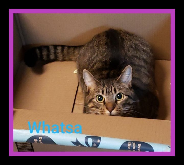 Whatsa, an adopted Domestic Short Hair & Tiger Mix in Inez, KY