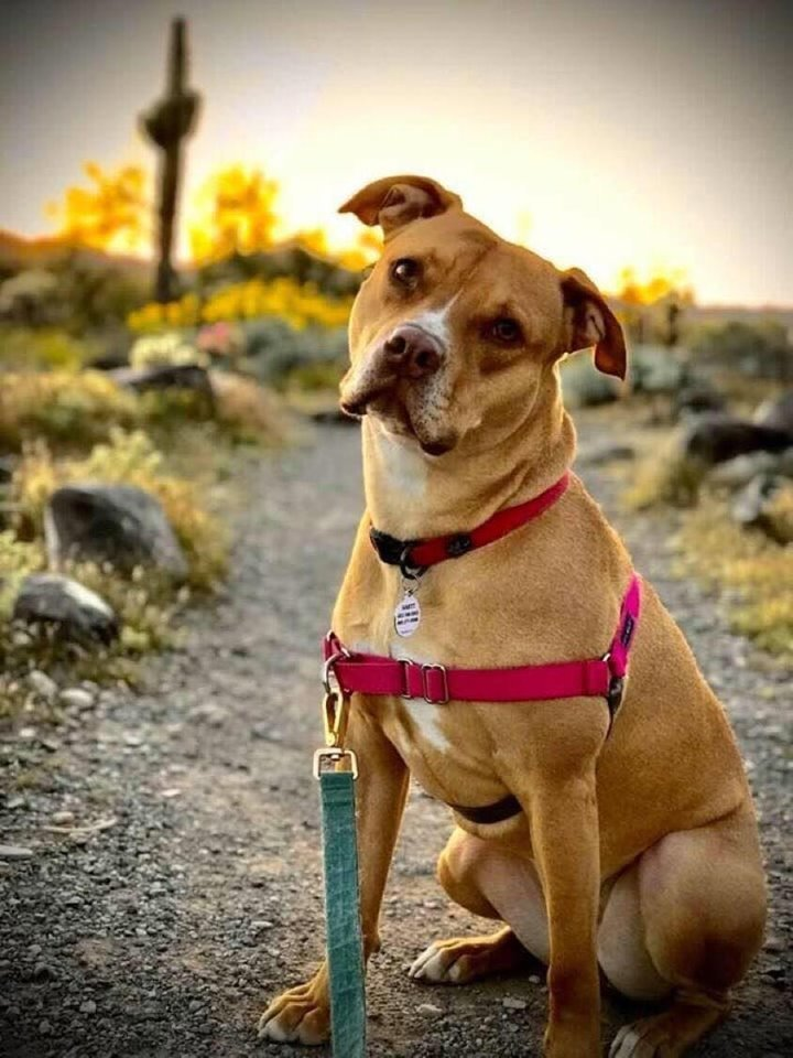 Dog For Adoption Shelby A Vizsla Amp Pit Bull Terrier Mix In Phoenix Az Petfinder