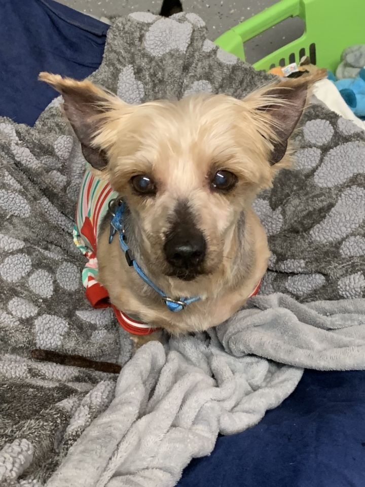 Dog For Adoption Meryl A Yorkshire Terrier In Richmond Va