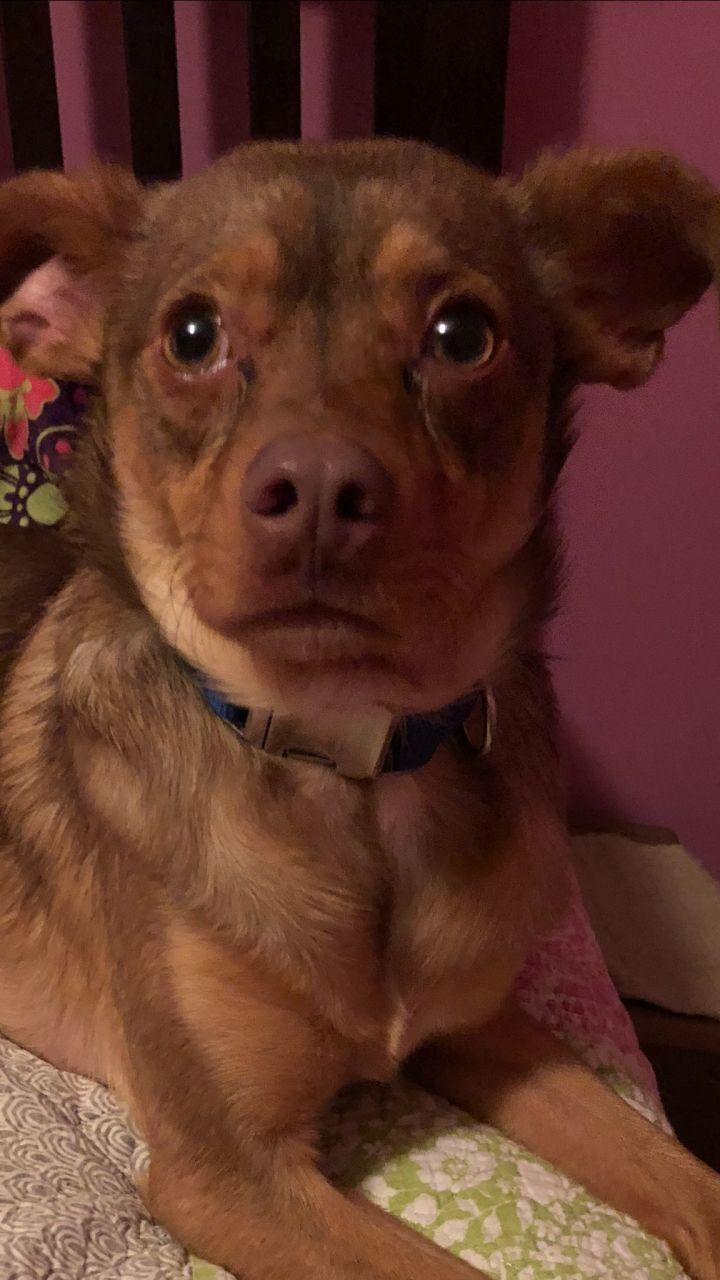 Dog For Adoption Auggie A Terrier Beagle Mix In Armada Mi