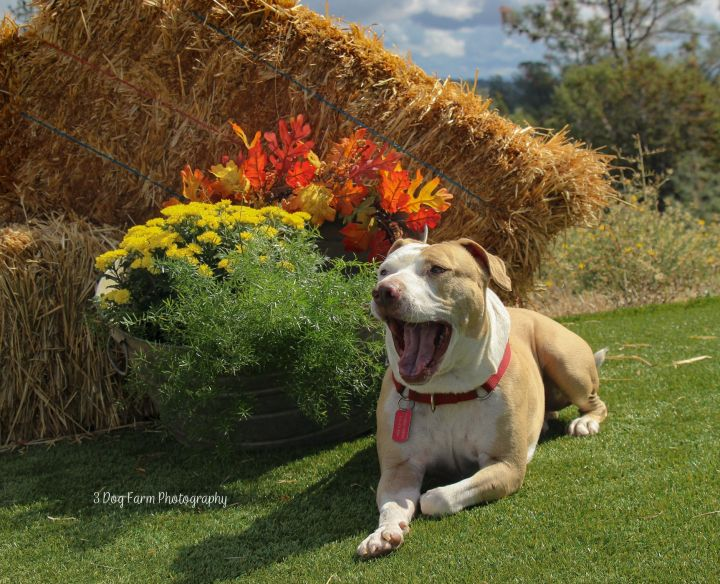 Jack 9-14-18A, an adopted Pit Bull Terrier in Grass Valley, CA