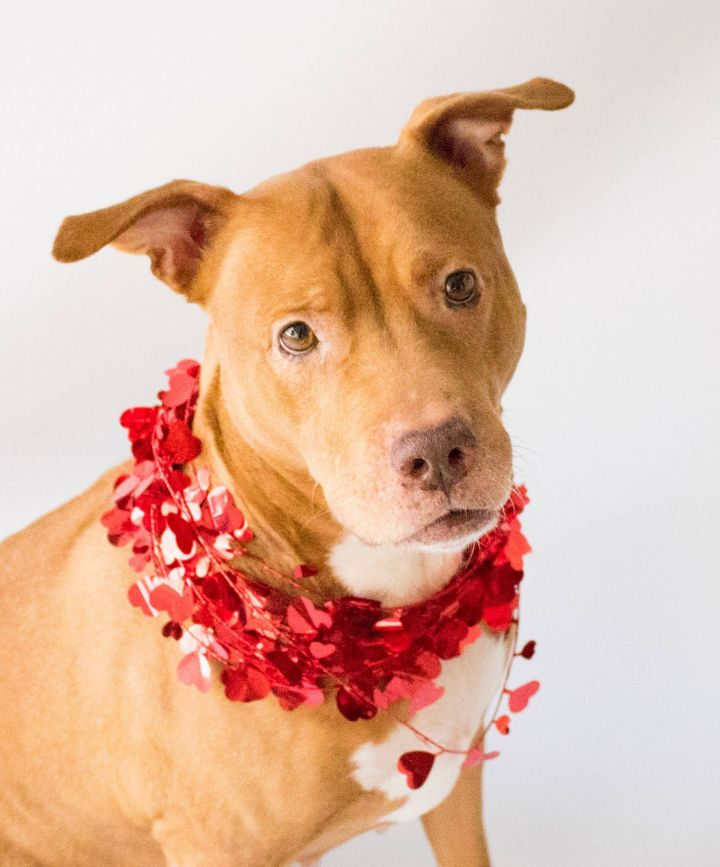 Primrose, an adoptable Pit Bull Terrier & Labrador Retriever Mix in Orlando, FL