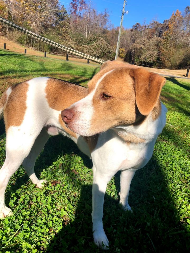 Hudson, an adopted Hound Mix in Dawsonville, GA