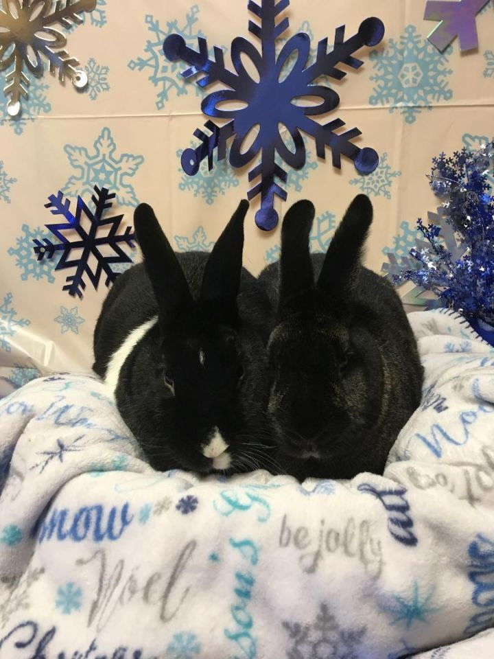 Tux & Wendy, an adoptable Dutch in Youngstown, OH