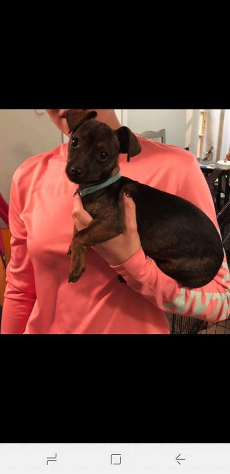 Dog For Adoption Oscar A Dachshund Mix In Lubbock Tx Petfinder