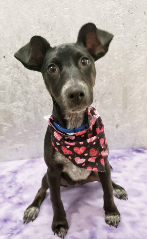 Dog For Adoption Jelly A Miniature Pinscher Cattle Dog Mix In