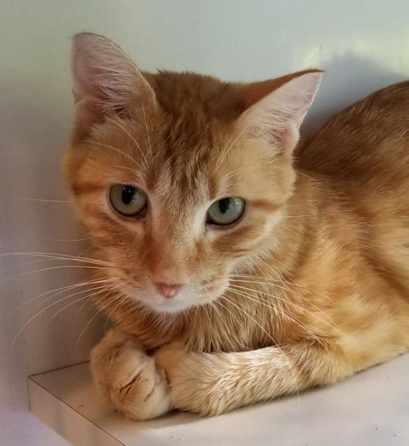 Frederick, an adoptable Domestic Short Hair in Sauk Rapids, MN