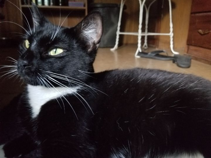 Saya- courtesy listing only, an adoptable Domestic Medium Hair & Tuxedo Mix in Uvalde, TX