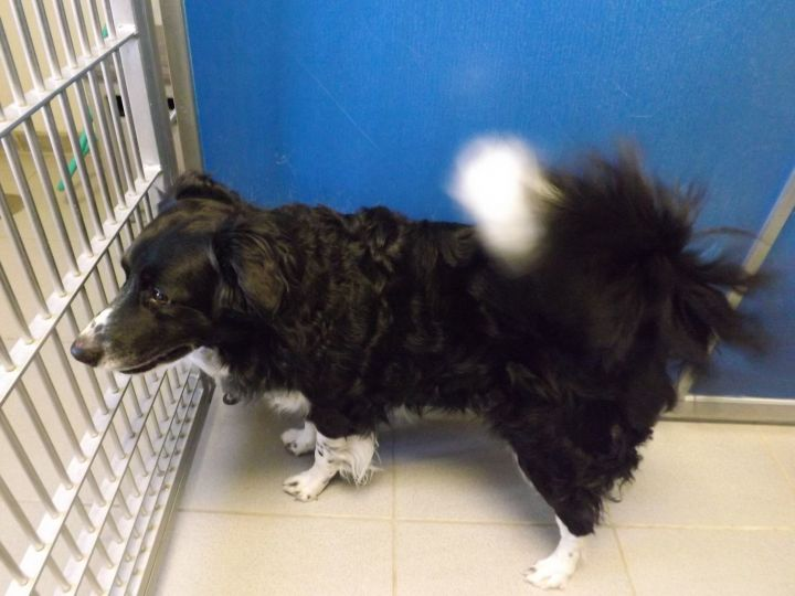 Boomer, an adopted Border Collie in Hays, KS