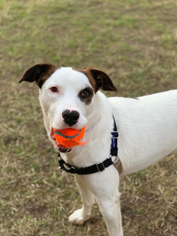 Milo, an adopted Retriever Mix in Grapevine, TX
