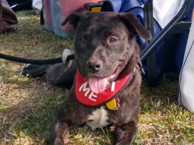 Pippa, an adopted Cattle Dog & Pit Bull Terrier Mix in Athens, GA