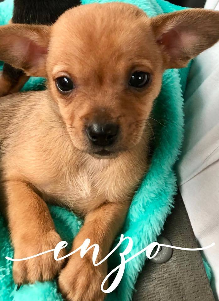 Enzo, an adopted Chihuahua Mix in Cypress, TX