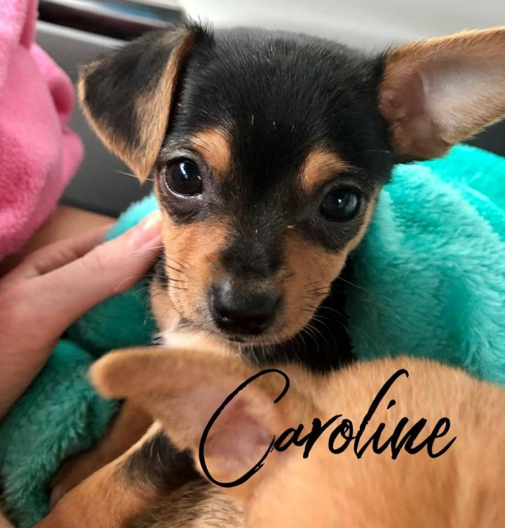 Caroline, an adopted Chihuahua Mix in Cypress, TX